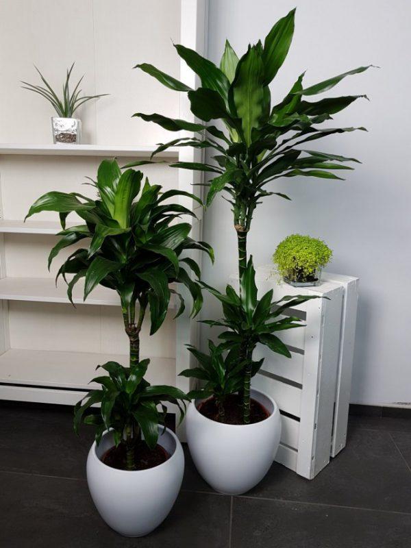 Лучшие растения для рабочего кабинета - ТОП-5 с фото и описанием