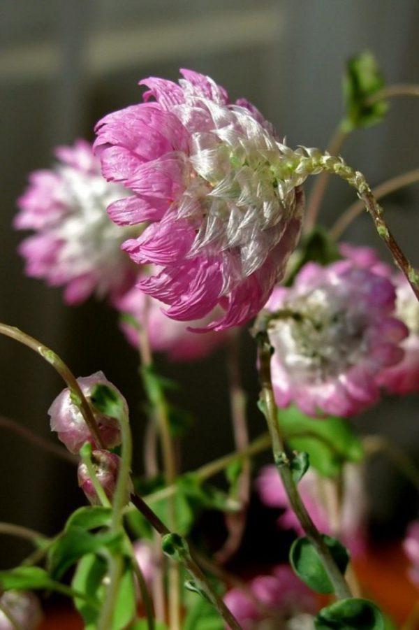 Растения-сухоцветы для зимних букетов - фото и названия