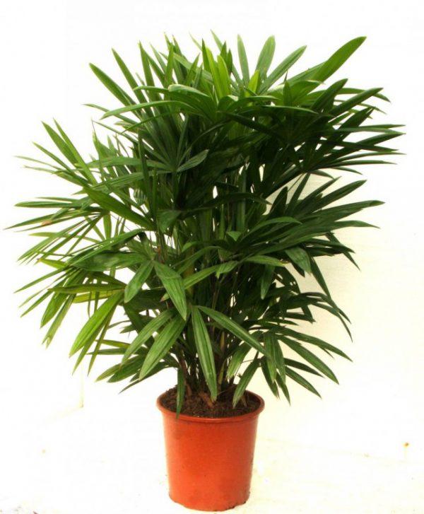 Неприхотливые комнатные пальмы фото с названием и описанием