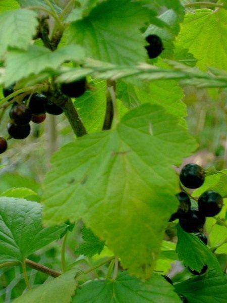 Смородина черная - уход, выращивание, размножение и сорта с фото