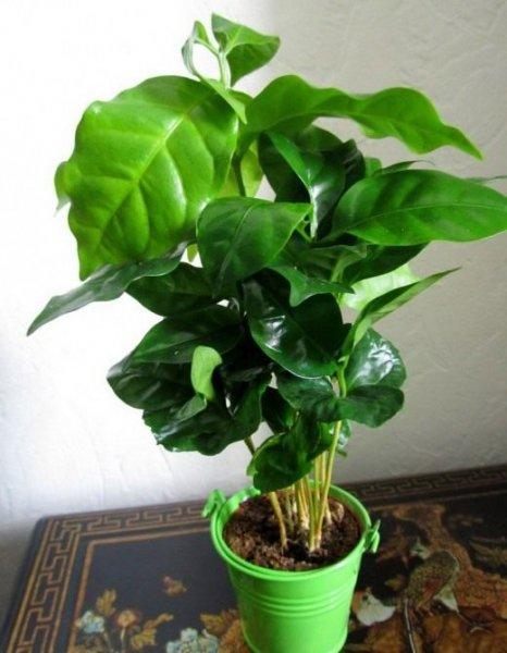 Кофе и кофейное дерево - выращивание и уход в домашних условиях