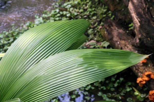 Куркулиго-молинерия — шикарные листья при минимальном уходе. Выращивание в домашних условиях. Виды. Фото и видео