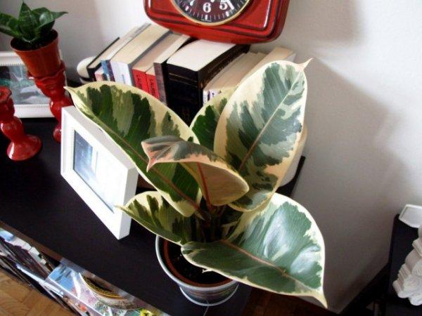 Фикус каучуконосный - уход в домашних условиях с фото и видео