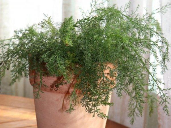 Лекарственные растения, которые можно выращивать дома зимой. Описание. Уход в комнатных условиях. Фото и видео