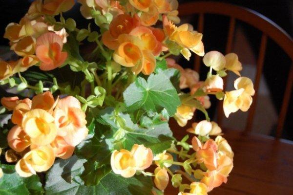 Выращивание бегоний в комнатных условиях с фото и видео