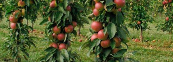 Колоновидная яблоня Президент описание фото отзывы