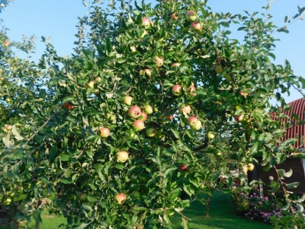 Календарь ухода за яблоней по месяцам 2019 года