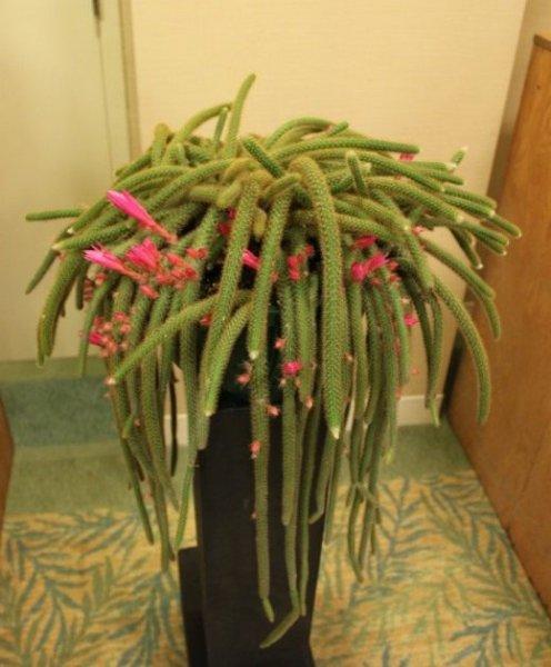 Кактусы в домашних условиях - выращивание и уход с фото и видео