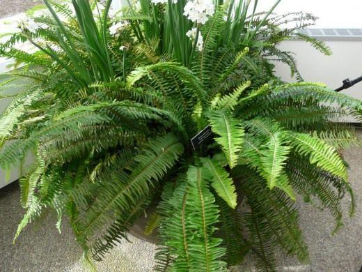 Нефролепис - растение для очищения воздуха дома