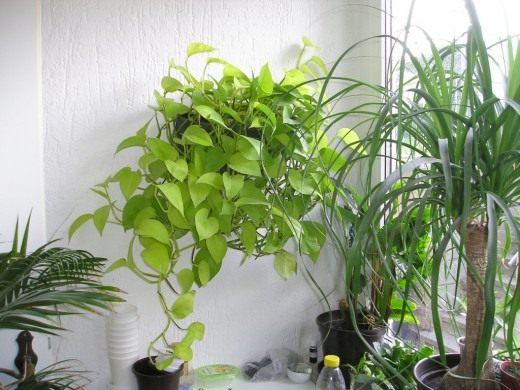 Ампельные растения в интерьере - флористика и дизайн с фото