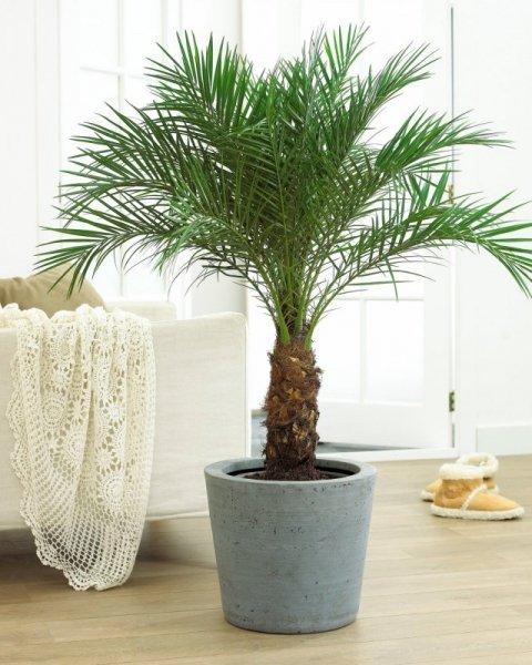 Комнатная финиковая пальма - уход в домашних условиях