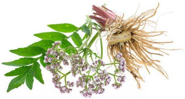 Корень валерианы - лечебные свойства и применение