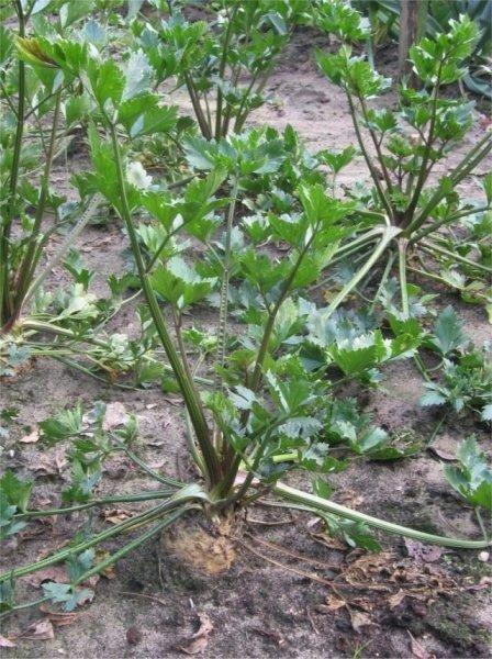 Сельдерей корневой посадка и уход, выращивание с фото и видео