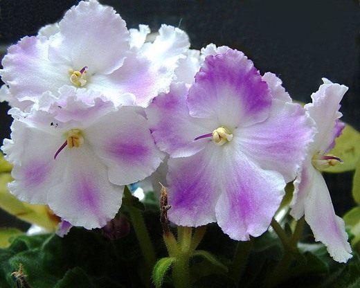 Фиалка домашняя сенполия - выращивание и уход с фото и видео