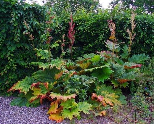 Ревень в народной медицине - свойства и выращивание