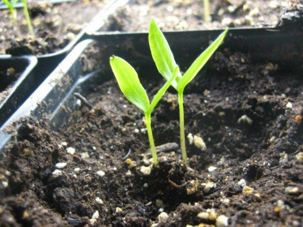 Выращивание рассады перца - когда сажать, посев, уход, сорта с фото