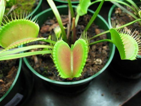 Комнатные растения хищники - cписок насекомоядных растений с названиями и фото