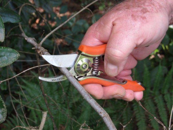 Вишня войлочная - выращивание, посадка и уход с фото и видео