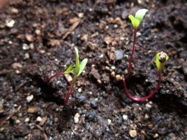 Свекла от А до Я - посадка, выращивание и уход