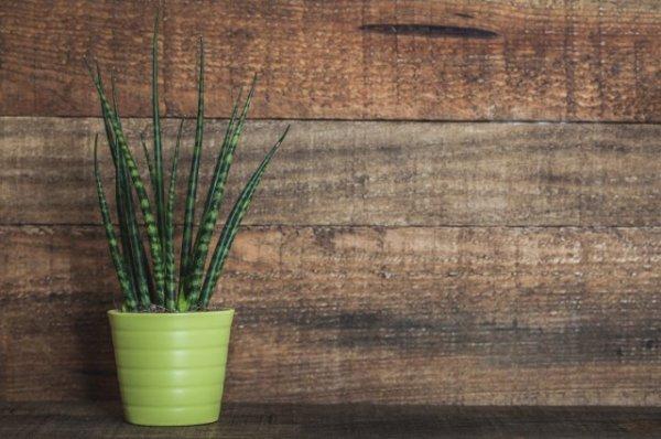 Сансевиерия цилиндрическая — самое простое в уходе комнатное растение. Выращивание в домашних условиях. Фото и видео