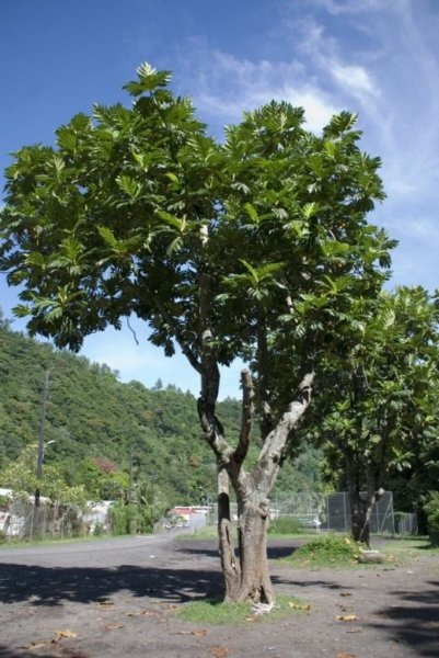 Хлебное дерево фото и описание, полезные свойства