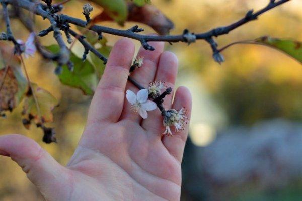 Осеннее цветение плодовых растений, фото, причины и последствия
