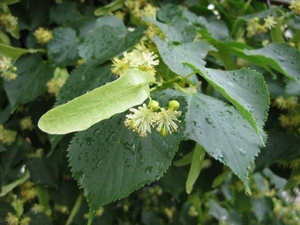 Липа дерево - посадка и уход, выращивание. Полезные свойства, применение. Липовый мёд. Фото