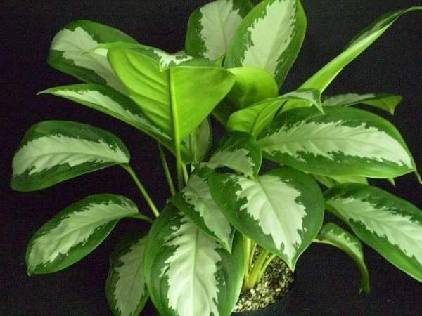 Аглаонема - все нюансы ухода за цветком в домашних условиях с фото и видео