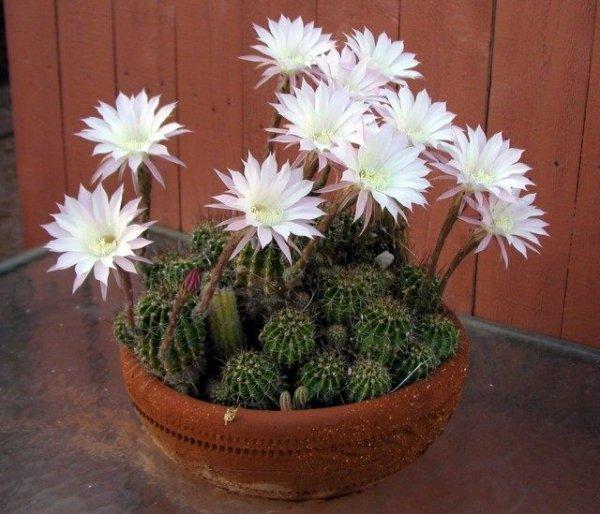 Если не цветет эхинопсис. Правильная зимовка и уход