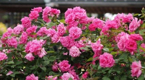 Бурбонские розы фото - сорта, описание, особенности выращивания