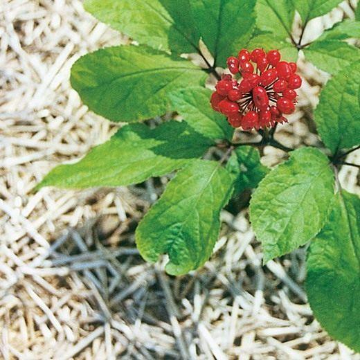 Женьшень - выращивание и уход в домашних условиях