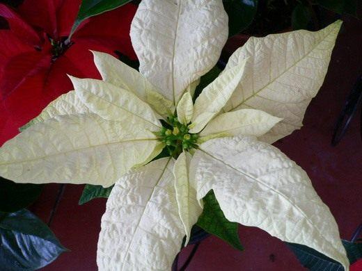 Рождественская звезда цветок Пуансеттия - фото, уход