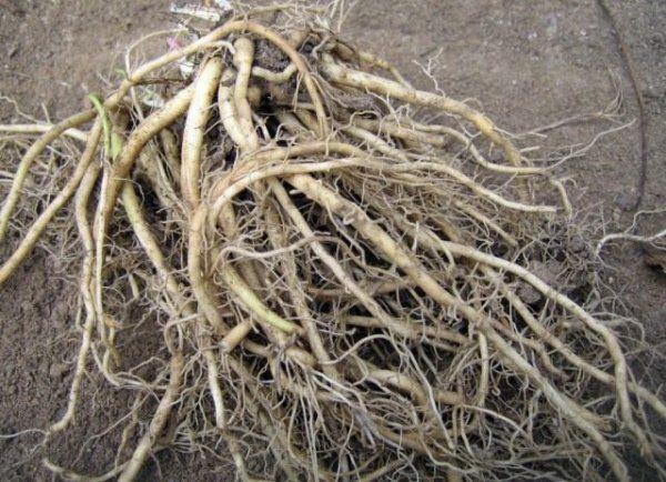 Валериана лекарственная - свойства, рецепты и выращивание