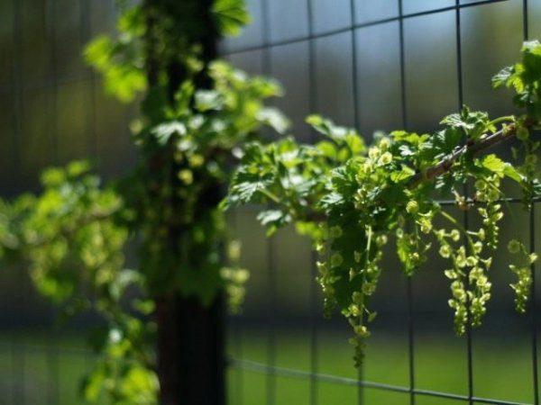 Размножение смородины черенками летом и осенью с фото и видео