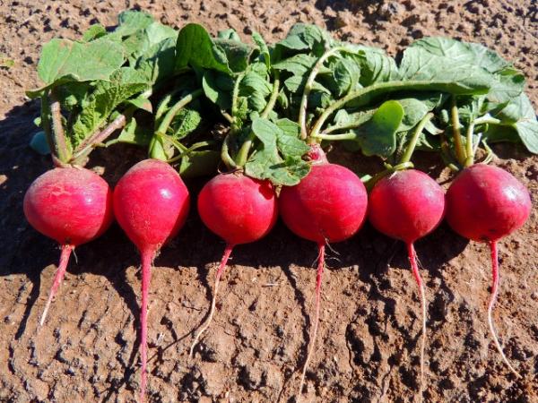 Выращиваем редиску весной по всем правилам