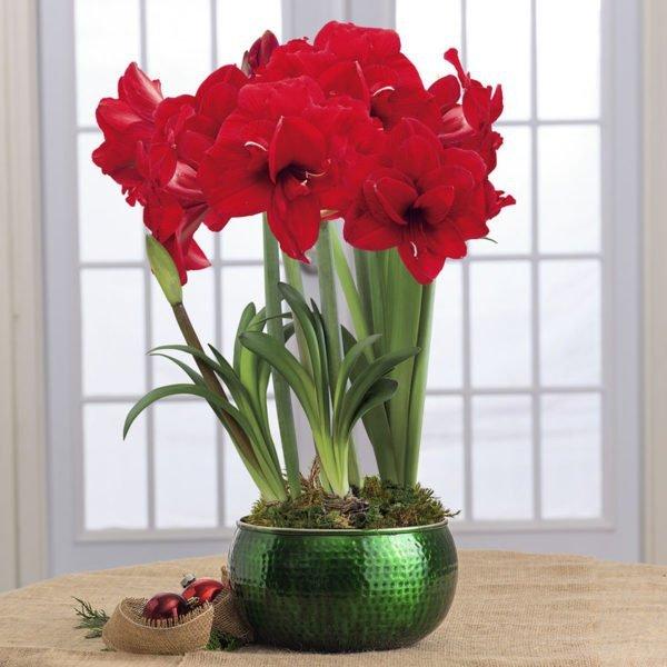 Гиппеаструм все нюансы ухода за цветком в домашних условиях с фото и видео