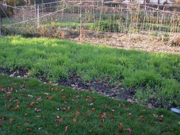 Какие сидераты сеять осенью и посадка сидератов под зиму