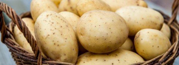 Картофель Ривьера - описание сорта, посадка, уход