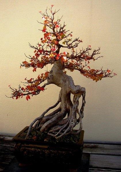 Бонсай. Искусство. Формы. Растения для бонсай. Уход, выращивание. Как вырастить. Фото