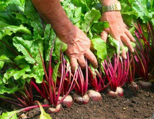 Как получить хороший урожай свеклы в домашних условиях