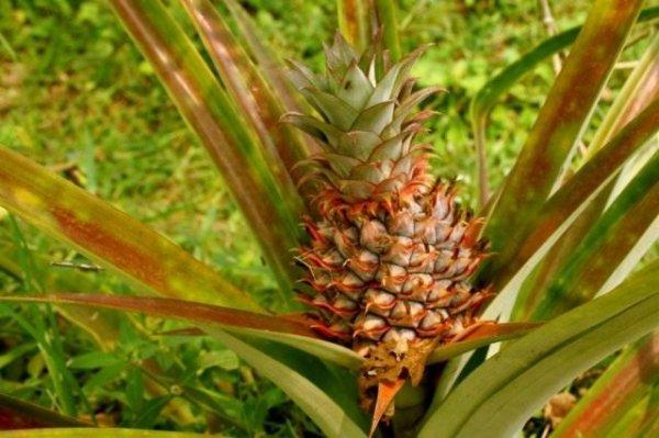 Как вырастить ананас в домашних условиях из верхушки пошагово