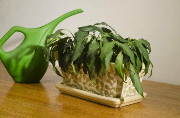 Почему вянут комнатные растения - причины и что делать