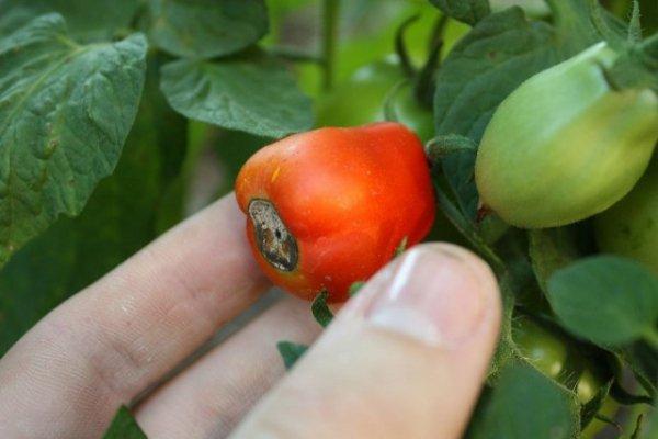 Почему гниют помидоры на ветке - причины и методы борьбы