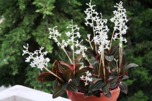 Драгоценные орхидеи - уход в домашних условиях с фото и видео
