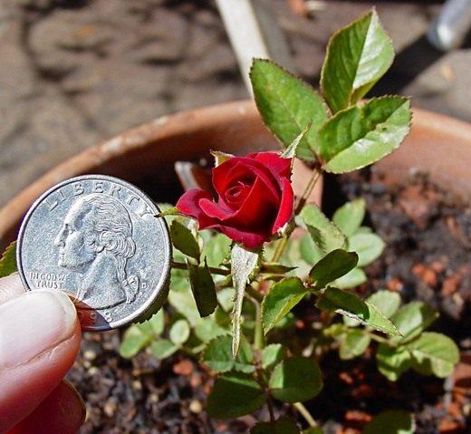 Роза миниатюрная - выращивание и уход в домашних условиях