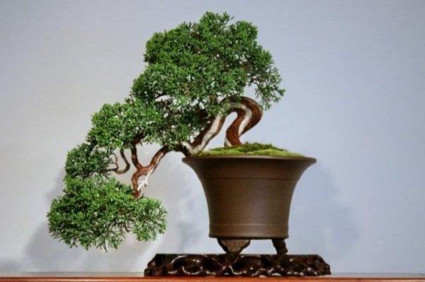 Способы выращивания бонсай. Как вырастить дерево бонсай. Фото
