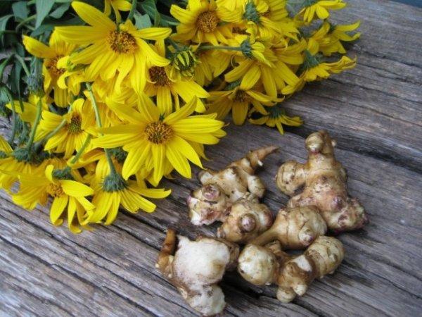 Топинамбур - польза и вред, рецепты, выращивание и уход
