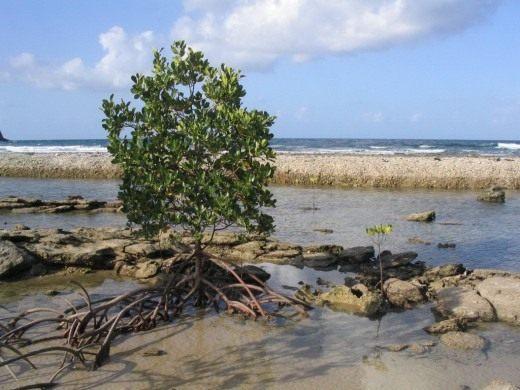 Мангры и мангровые деревья. Ризофора. Авиценния. Фото.