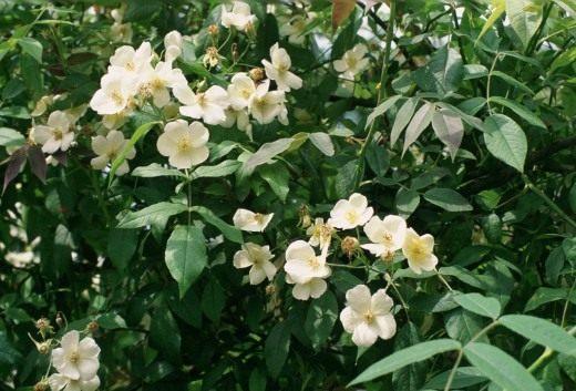 Роза мускусная фото и описание сорта, посадка и уход