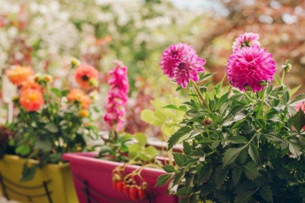 Георгина садовая на балконе - выращивание и уход с фото и видео